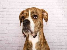 ***2/19/17 RHINO LIGHTNING | Humane Society of Utah HSU Pet ID A103404 Sex Male Primary Breed Boxer Color BR BRINDLE Age 3 YEARS KennelNo DU15 LAST UPDATED FEB 19, 2017 - 11:55 AM I know, I'm a striped dream charmer! Rhino Lightning is the name! I'm still waiting for my picture to be the cover of Dogue. Besides my good looks I'm an active guy looking for my perfect human companion! I'd do best in a home that has mellow K9 pals that will respect my space, & kids 8+.