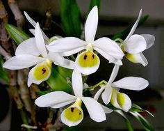 Orchid: Dendrobium bensoniae - Flickr - Photo Sharing!