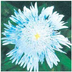 Blue Stokesia Plants