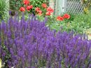 Colorful spikes of Salvia May Night attract butterflies & hummingbirds to the garden