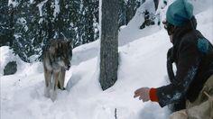 Sepp de wolvenvriend; een film om gezellig met het hele gezin te kijken! Hij draait nu in de bioscoop, wij hebben hem inmiddels gezien. Daarnaast geven wij nog 2 dvd boxen weg met wolvenfilms voor kinderen. Winnen? http://www.mamsatwork.nl/sepp-de-wolvenvriend-film/
