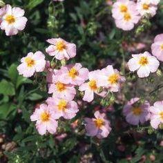 Zonneroosje helianthemum 'wisley pink'