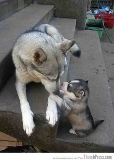 A huskey & her pup ♥