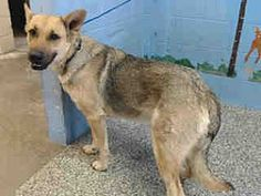 Pictures of URGENT on 1/13 SAN BERNARDINO a female German Shepherd Dog for adoption in San Bernardino, CA who needs a loving home. ID# A510776.