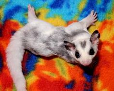 Welcome to Lucky You Gliders! Lucky You Gliders is a home based business ran by Lynsie Burgtorf out of Quincy, IL. I have owned sugar gliders since 2002, started breeding in 2003 and began vending shortly after that.