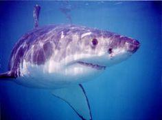 Ask.com Shark, Creatures, Fish, Pets, Wallpaper, Animals, Projects, Animals And Pets, Wallpaper Desktop