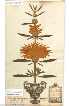 George Clifford's herbarium sheet, which helped young Swedish scientist Carl Linnaeus to devise a structure for naming specimens.