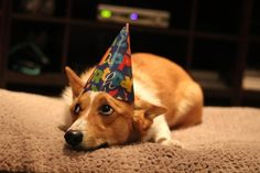 And this corgi just realized that he's another year closer to facing his own mortality. | 17 Animals Who Are Having The Worst Birthday Ever