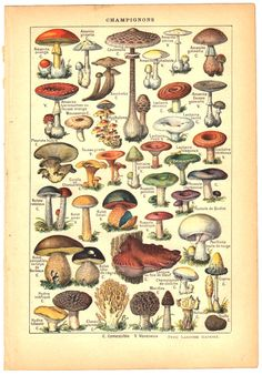 1915 dictionary plate, mushrooms, French