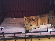 My own private kingdom  #shibainu #shiba #inu #shibagirl #shibalovers #shibalove #redshiba #dog #dogge #dogy #pieseł #piggy #favtoy #stars #kingdom #dogsofinstagram #furbaby