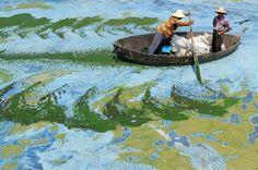 Pescadores remam um barco no Lago Chaohu, na China, cheio de algas