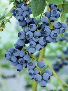 Beautiful Blueberries.