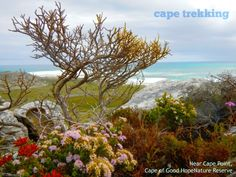 Wild flowers at Cape Point Trekking, Wild Flowers, Cape, Mantle, Cabo, Hiking, Cloak