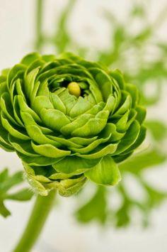 Green Renoncules Roses
