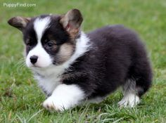 If you put this corgi on a pillow at it's stomach, its feet will be unable to reach the ground.
