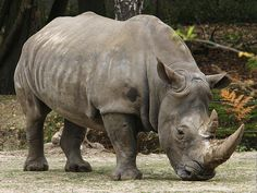 """Rinoceronte.  La palabra rinoceronte proviene de la palabra griega """"rhino kera"""" que significa """"nariz-cornuda"""". Su piel es similar a una gruesa capa de cuero muy duro que puede alcanzar 5 cm de grosor.  Junto con el elefante y el hipopótamo, este animal es de los herbívoros más grandes que existen. Los rinocerontes blancos pueden superar los 3.000 kg. de peso. Tienen un gran sentido del olfato y también del oído, pero en lo que respecta a la vista son bastante miopes."""