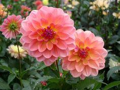 Dahlia flowers.