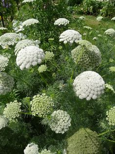Ammi visnaga (Apiacées) im Jardin des Plantes, Paris August Foto Alain Delavie Garden Types, Water Garden, Garden Plants, Flowers Garden, Green Flowers, White Flowers, Queen Anne Lace, Paris Garden, White Gardens