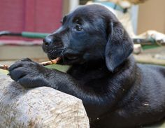 """Sugarhoney the Labrador Retriever. A """"with stick"""" picture is mandatory for me. Extra points for capturing those big puppy paws!"""