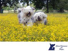 Asma en perros. CLÍNICA VETERINARIA DEL BOSQUE. El asma en los perros, aunque poco frecuente es una enfermedad poco común que es ocasionada por alergias al polen, ácaros, polvo y otras sustancias. Al contacto con estas, los bronquios de los perros se cierran como autodefensa, lo que dificulta la respiración. Dependiendo los episodios, si son frecuentes o esporádicos, existen varios tratamientos que en Clínica Veterinaria del Bosque podemos prescribir a tu mascota para su pronta recuperación…