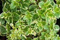 Oregano 'Variegated' (Origanum vulgare variegata)   Log House Plants