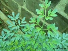 O cultivo da Arruda é realizado por propagação em estacas ou sementes. Aconselha-se sombrear parcialmente as plantas. Espaçamento de plantio: 0,50 por 0,60 cm. Sarna, piolhos, assaduras, conjuntivite são algumas das moléstias que podem ser combatidos por meio desta planta