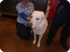 Thousand Palms, CA - German Shepherd Dog/Akita Mix. Meet SIMBA, a dog for adoption. http://www.adoptapet.com/pet/12308355-thousand-palms-california-german-shepherd-dog-mix