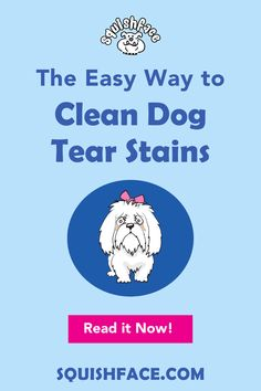 If you struggle with how to clean eye stains on dogs, this is the post for you! Learn the tricks for easy dog tear stain removal, including white dog eye stains, for great Pomeranian eye care, Poodle eye care, Shih Tzu care, and say goodbye to long hair dog grooming dilemmas. If you do your dog grooming at home or are a professional dog groomer, this is a must read to learn dog tear stain remedies for a clean dog face. | Squishface Dog Care Products Tear Stain Removal, Dog Tear Stains, English Bulldog Care, Wrinkly Dog, Dog Grooming Tips, Dog Cleaning, Dog Health Care, Seasonal Allergies, Dog Eyes