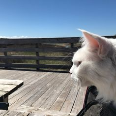 "604 Likes, 9 Comments - 🐾Cezar The Travelling Cat 🐈 (@cezars.crew) on Instagram: ""Prince Cezar at Prince Edward Island (PEI) #canada 🇨🇦 2017 - it should have been PCI instead of…"""