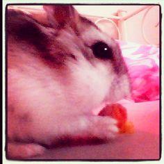 Mijn hamster hippie❤️❤️