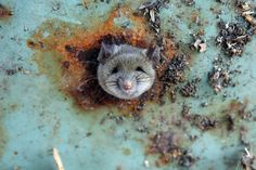 SCG VIRALS: Rat Got Head Stuck in Garbage Can - Rescued by FDNY Paramedic (6 Photos)  aaw. Look at that face! And we thought they could get in an out of anything! Not this one apparently. Lucky for him there was help on the way. Great folks those FDNY Paramedics...
