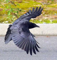 This is a beautiful photo of a crow in flight. I love the purple cast to its wings, the evenness of the feathers.