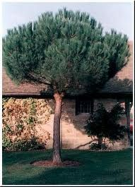 Pinus pinea, otherwise known as stone pine or umbrella pine, or pine nut tree (because of its edible nuts) Pine Nut Tree, Trees And Shrubs, Art Of Living, Topiary, Fruit Trees, Tenerife, Yard Ideas, Garden Inspiration, Ibiza
