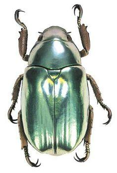 Iridescent #beetle ~ETS