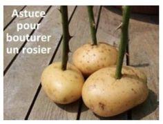 Bouturer un rosier avec une pomme de terre