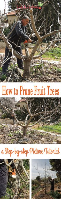 How to Prune Fruit Trees to Keep Them Small How to prune fruit trees right. Join me for a tutorial on why, when, and how to prune fruit trees to encourage healthy growth and fruitfulness. Prune Fruit, Pruning Fruit Trees, Tree Pruning, Pruning Plants, Dwarf Fruit Trees, Fruit Tree Garden, Garden Trees, Herbs Garden, Garden Shrubs