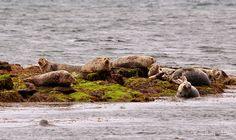 Seal Colony, Inishbofin, Connemara, Galway, Ireland
