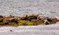 Seal Colony, Inishbofin, Connemara, Galway, Ireland