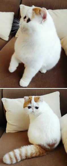 Something about this fluffy flat faced #cat makes me giggle. And I want it