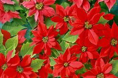 Webshots, the best in Wallpaper, Desktop Backgrounds, and Screen Savers since Holiday Pictures, Christmas Images, Christmas Poinsettia, Christmas Holidays, Amazing Flowers, Beautiful Flowers, Prettiest Flowers, Computer Wallpaper Hd, Mexican Christmas