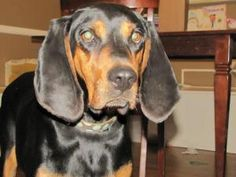Abby is an adoptable Coonhound Dog in Fenton, MO. Abby is a sweetheart of a girl that has been through it all.  We got Abby during the hot days of summer.  Abby was thought to be SUPER pregnant.  Turn...