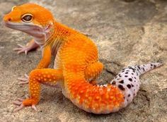 Beautiful tangerine enigma gecko!! This what I think I'm gonna save up for. STUNNING!!