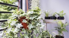 Feng shui and plants go hand-in-hand. Houseplants are one of the most effective ways to quickly shift the feng shui of your home and purify the air. Indoor Plants Clean Air, Small Indoor Plants, Indoor Plants Low Light, Small Artificial Plants, Indoor Plant Pots, Cool Plants, Indoor Ivy, Indoor Gardening, English Ivy Indoor