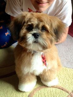 lhasa apso Face Cuts - Bing Images