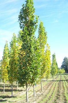 Slender silhouette sweetgum liquidambar styraciflue for Trees for tight spaces