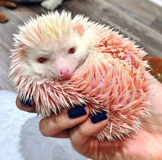 This is Pink Floyd.   This Adorable Hedgehog Who Was Dyed Pink For Fun Has Been Rescued