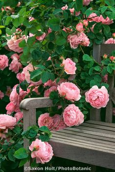 Pink flowering English Rose, 'Constance Spry' on garden bench | Saxon Holt