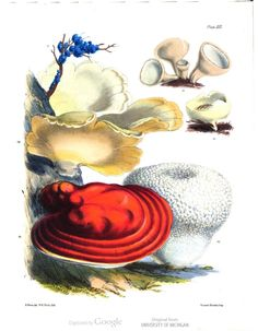 Plate XII in Illustrations of the Fungi of Our Fields and Woods, Drawn from Natural Specimens, Vol. 2, by Sarah Price.