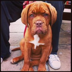 #French #Mastiff #puppy