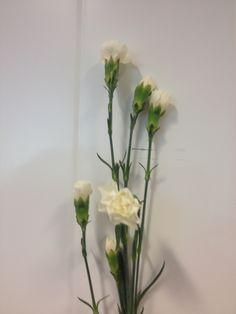 Dianthus - ... - Grein nellik - Hvit